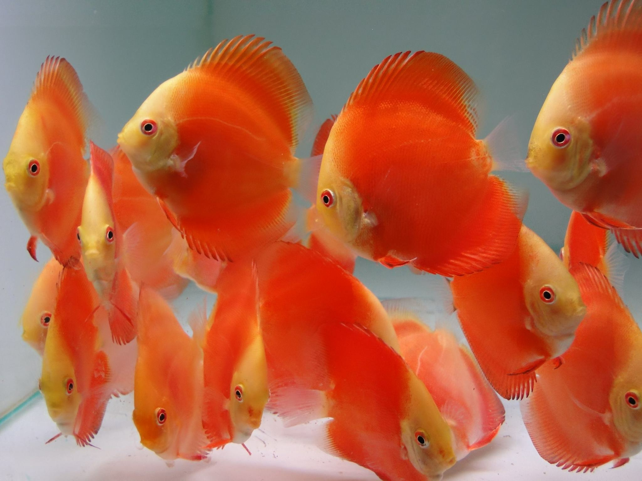 Red Melon Discus Golden State Discus