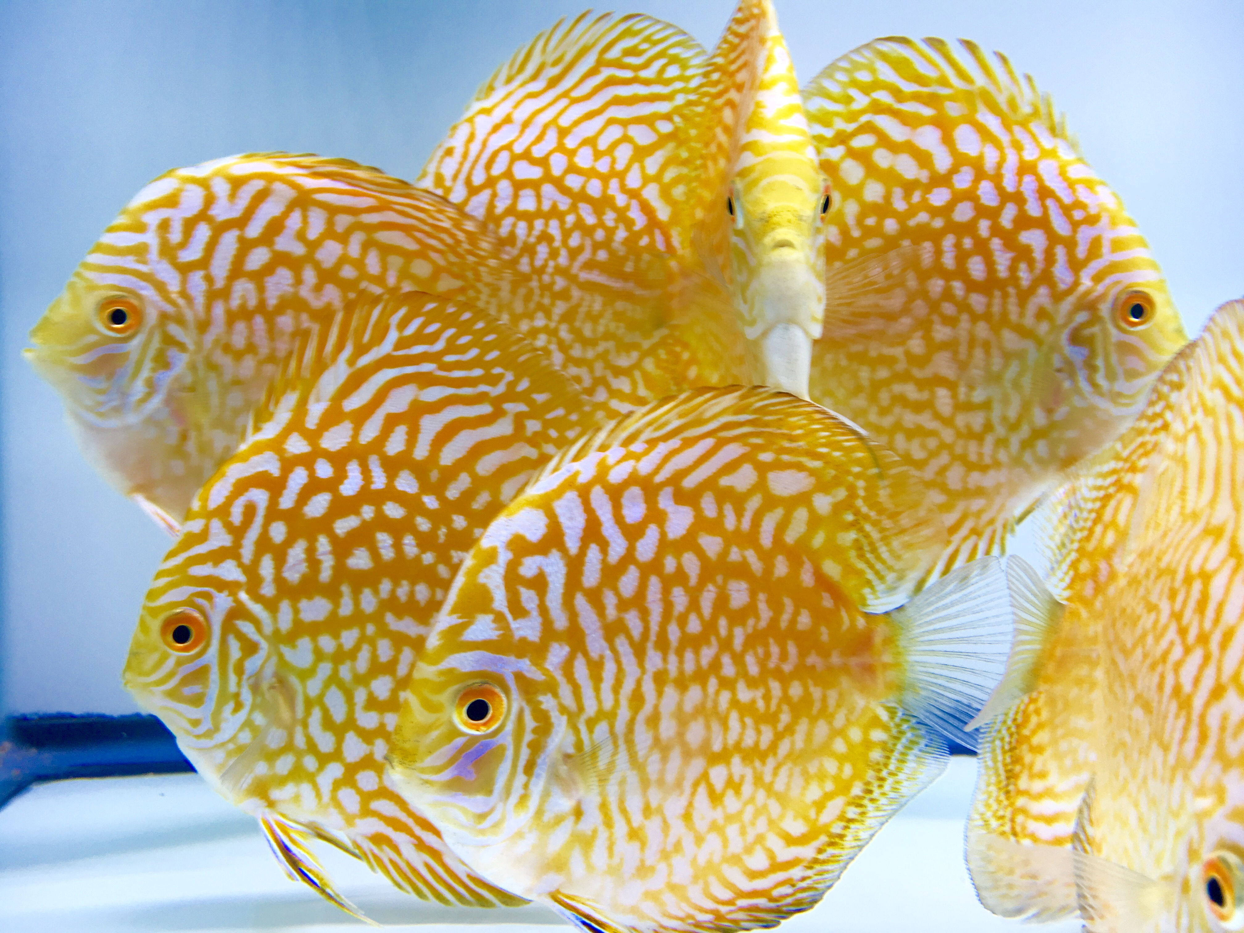 Yellow Pigeon Checkerboard Discus Golden State Discus